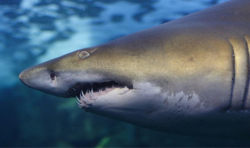 ¿Qué son los dientes de tiburón en niños y adultos?